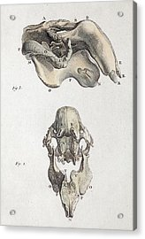 1790 Antique Accurate Dugong Skull Acrylic Print by Paul D Stewart