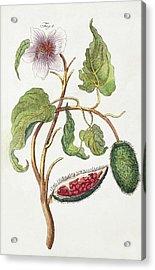 1795 Achiote Bixa Orellana Illustration Acrylic Print by Paul D Stewart