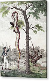 1796 Stedman Skins Giant Anaconda Snake Acrylic Print