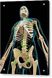 Lymphatic System Acrylic Print by Sciepro/science Photo Library