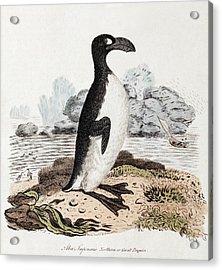 1819 Extinct Great Auk Illustration Acrylic Print by Paul D Stewart