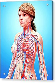 Female Cardiovascular System Acrylic Print by Pixologicstudio/science Photo Library