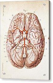 1840 Historical Image Brain Blood Supply Acrylic Print by Paul D Stewart