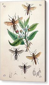 1845 Obadiah Westwood Insect Painting Acrylic Print by Paul D Stewart