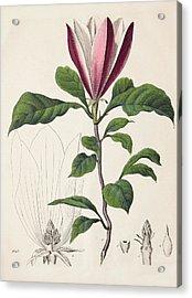 1847 Magnolia Primitive Flower Bracts Acrylic Print