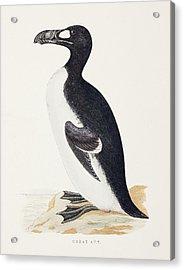 1853 Orpen Morris Extinct Great Auk Acrylic Print by Paul D Stewart