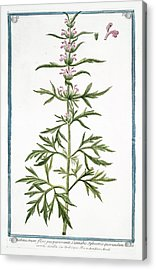 18th Century Botanical Illustration Acrylic Print by Rare Book Division/new York Public Library