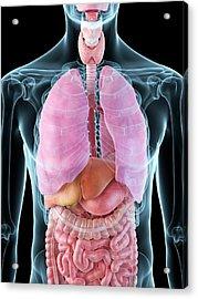 Human Internal Organs Acrylic Print by Sciepro