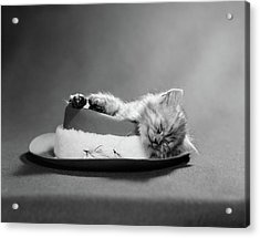 1960s Cat Curled Up And Asleep On An Acrylic Print
