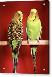 1960s Pair Of Two Yellow Green Acrylic Print