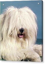 1960s Portrait Of English Sheepdog Acrylic Print