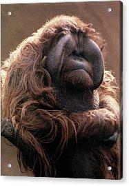 1970s Mature Adult Orangutan Pongo Acrylic Print