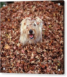 1990s Dog Covered In Leaves Acrylic Print