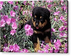 1990s Rottweiler Puppy Dog Sitting Acrylic Print