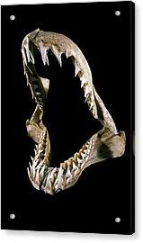 19th Century Shark Jaw Acrylic Print by Patrick Landmann/science Photo Library