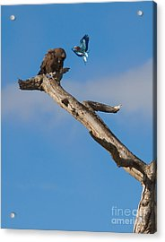 A Confrontation Acrylic Print by J L Woody Wooden