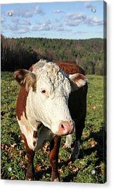A Cow At Wheel-view Farm, Shelburne Acrylic Print