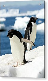 Adelie Penguins Acrylic Print by William Ervin/science Photo Library