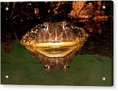 African Burrowing Bullfrog Acrylic Print by David Northcott