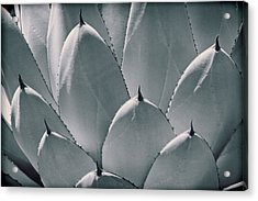 Agave Leaves Acrylic Print by Kelley King
