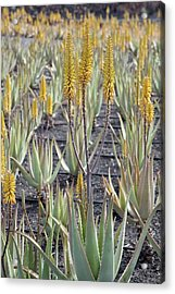 Aloe Vera In Cultivation Acrylic Print by Bob Gibbons/science Photo Library