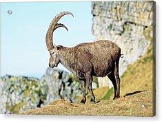 Alpine Ibex (capra Ibex Acrylic Print by Martin Zwick
