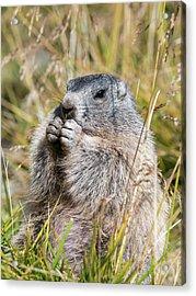 Alpine Marmot (marmota Marmota Acrylic Print by Martin Zwick