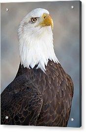 American Bald Eagle Acrylic Print by Paulette Thomas