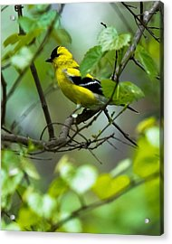 Acrylic Print featuring the photograph American Goldfinch by Robert L Jackson