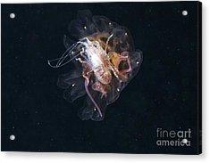 Amphipod Inside A Lions Mane Jellyfish Acrylic Print