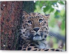 Amur Leopard Acrylic Print by Chris Boulton