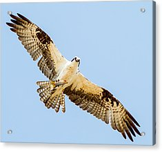 An Osprey Feeding On A Trout Acrylic Print