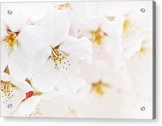 Apple Blossoms Acrylic Print by Elena Elisseeva