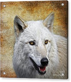 Arctic White Wolf  Acrylic Print by Steve McKinzie