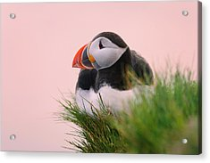 Atlantic Puffin (fratercula Arctica Acrylic Print by Keren Su