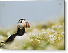 Atlantic Puffin In Breeding Plumage Acrylic Print by Sebastian Kennerknecht