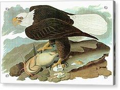 Audubon Eagle Acrylic Print