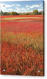 Autumn Blueberry Field Maine Acrylic Print by Scott Leslie