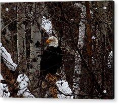 Bald Eagle Acrylic Print by Omaste Witkowski