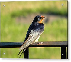 Barn Swallow Acrylic Print by James Petersen