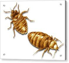 Bed Bugs Acrylic Print