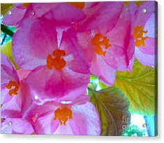 Acrylic Print featuring the photograph Begonia Debut by Cathy Dee Janes