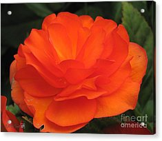Acrylic Print featuring the photograph Begonia Named Nonstop Apricot by J McCombie