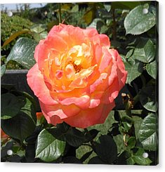 Beijing Rose  Acrylic Print by Kay Gilley