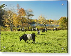 Belted Galloway Cows Grazing On Grass In Rockport Farm Fall Main Acrylic Print by Keith Webber Jr