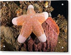 Big-plated Sea Star Acrylic Print by Andrew J. Martinez