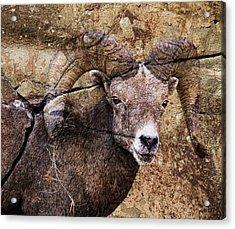Bighorn Rock Acrylic Print