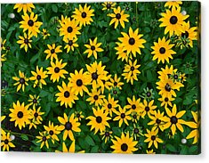 Acrylic Print featuring the photograph Black-eyed Susans by Dana Sohr