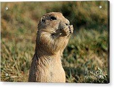 Black-tailed Prairie Dog Acrylic Print