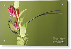 Black-tailed Train Bearer Hummingbird Acrylic Print